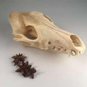 coyote schedel kopen